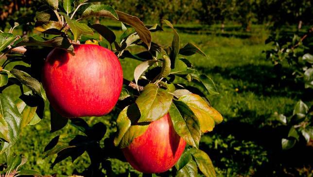 Honeycrsip apples on a tree