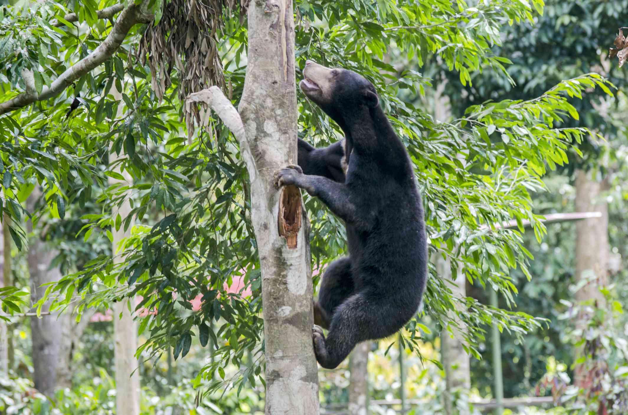 A brown sun bear climbing a tree in a green forest