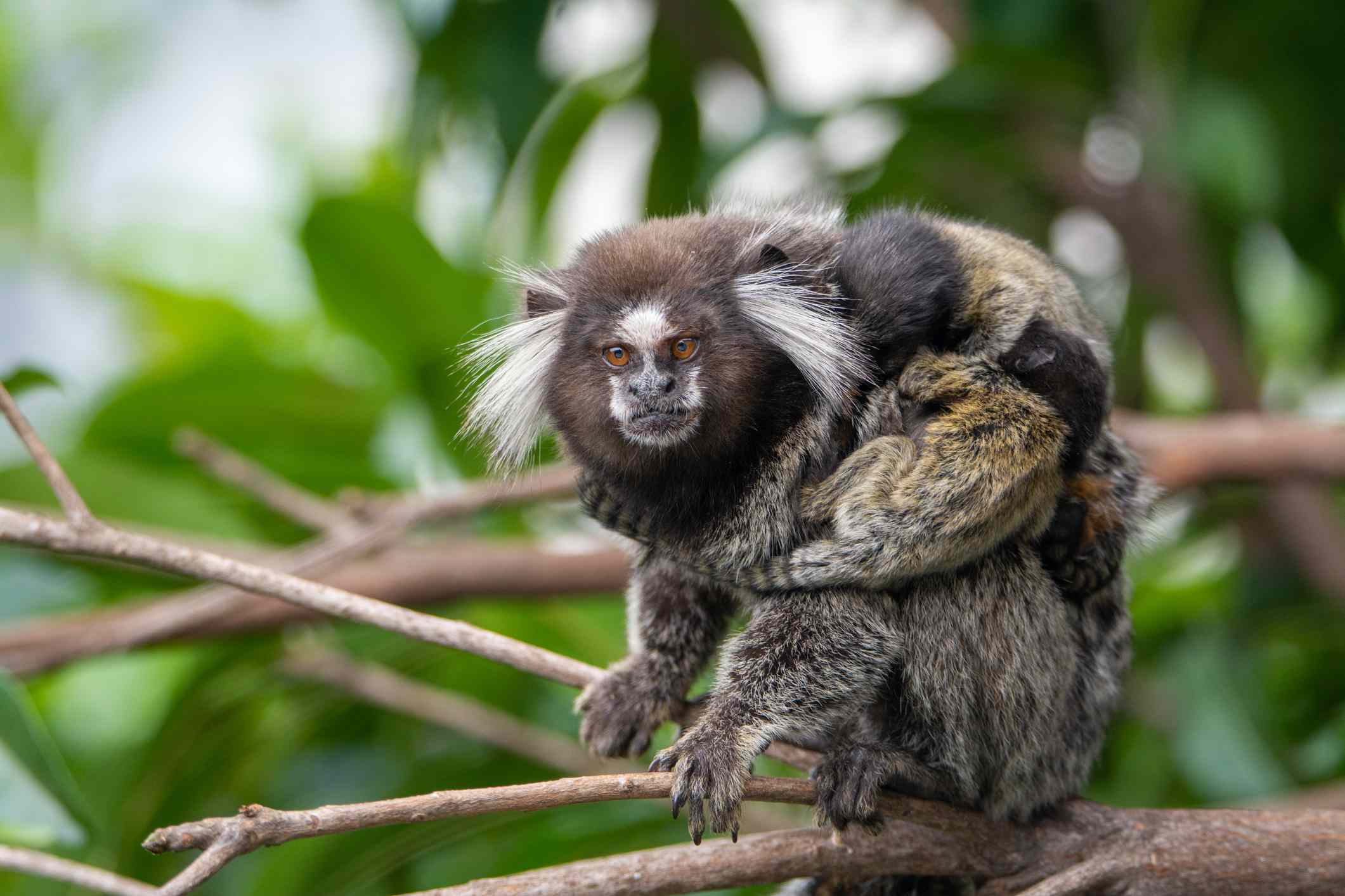 A brown female marmoset with white tufts of fur on either side of her head holding her babies
