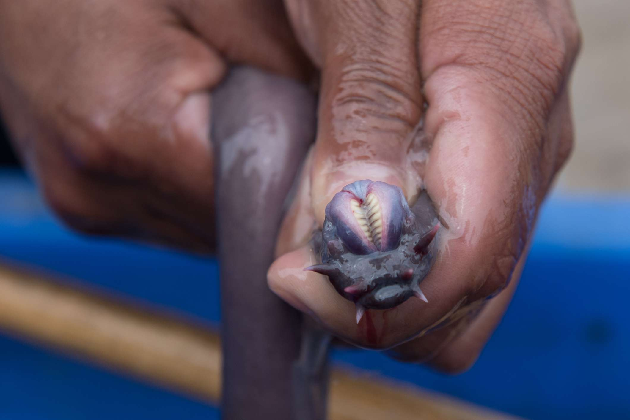 hand holding hagfish and showing off its pairs of teeth