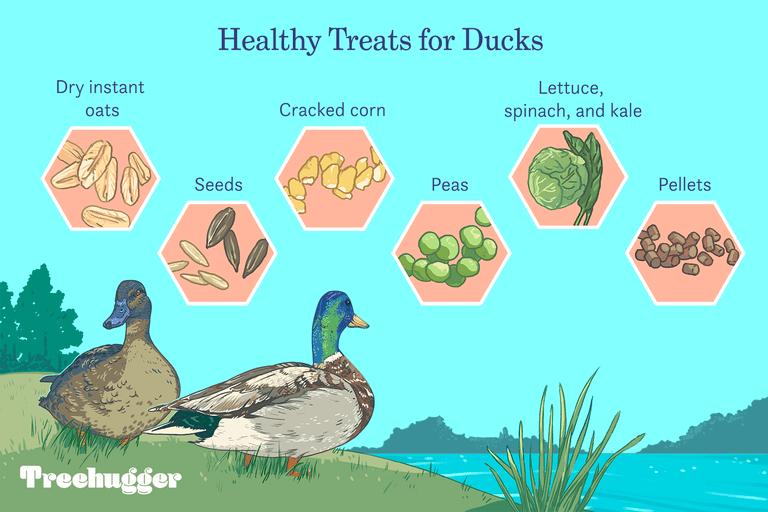 healthy treats for ducks illo