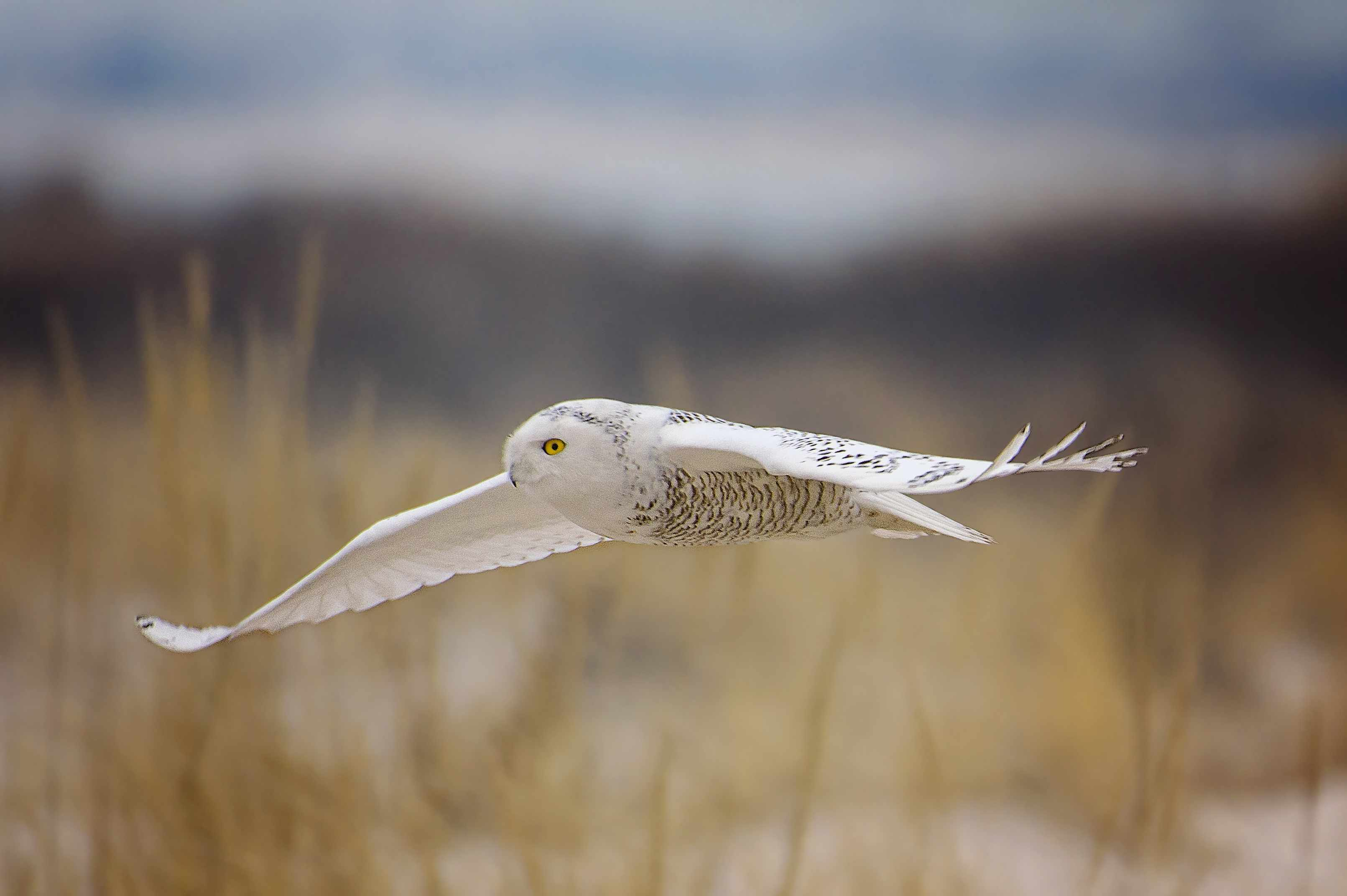 snow owl with wings spread wide gliding over tall grass