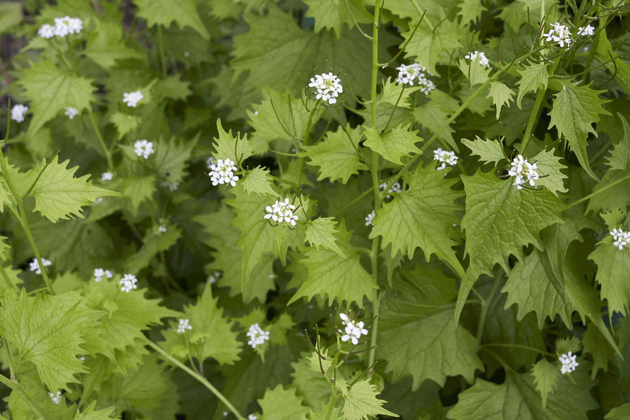 Cluster of garlic mustard with white flowers in bloom