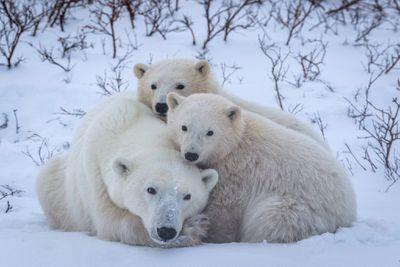 mother polar bear with cubs