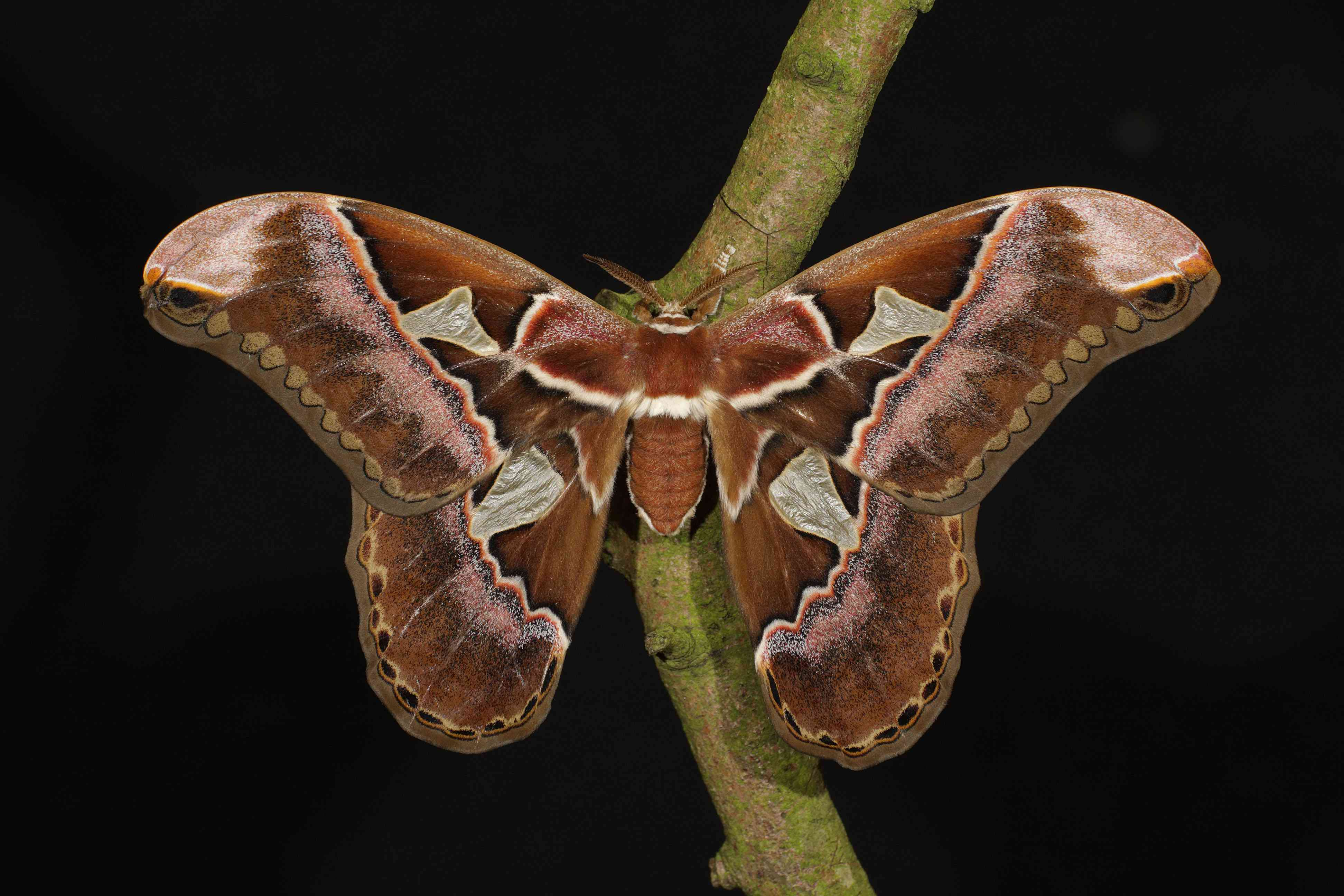A brown and pink moth with large wings sits on a branch