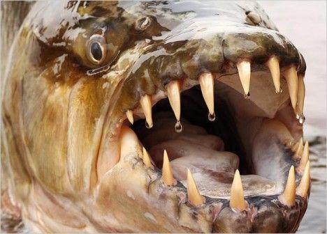 goliath tigerfish photo