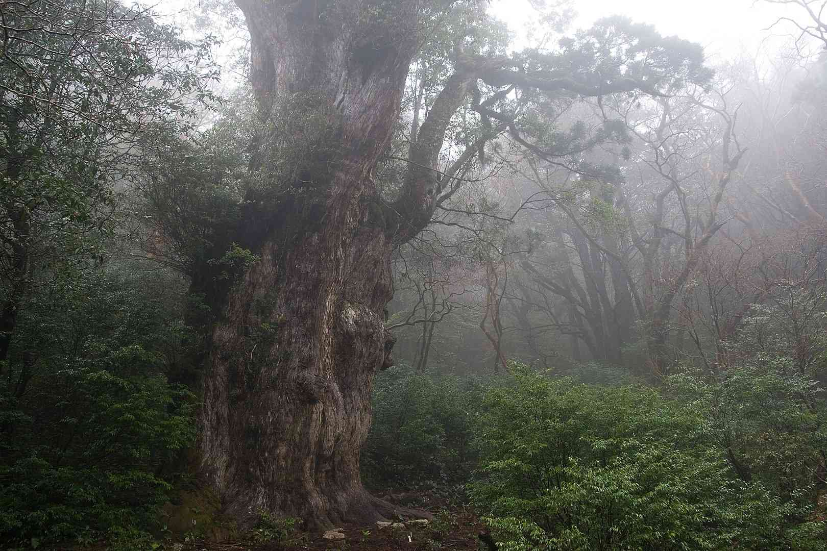 A foggy view of the tree Jōmon Sugi in Yakushima, Japan