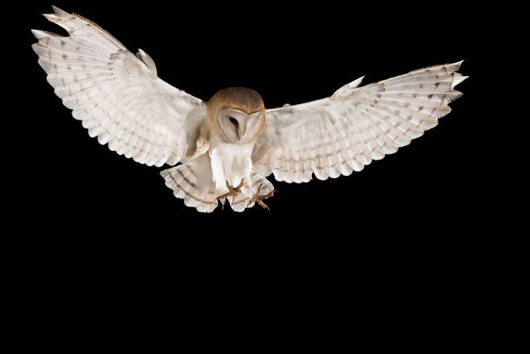Los búhos blancos usan la luz de la luna para infundir terror en sus presas