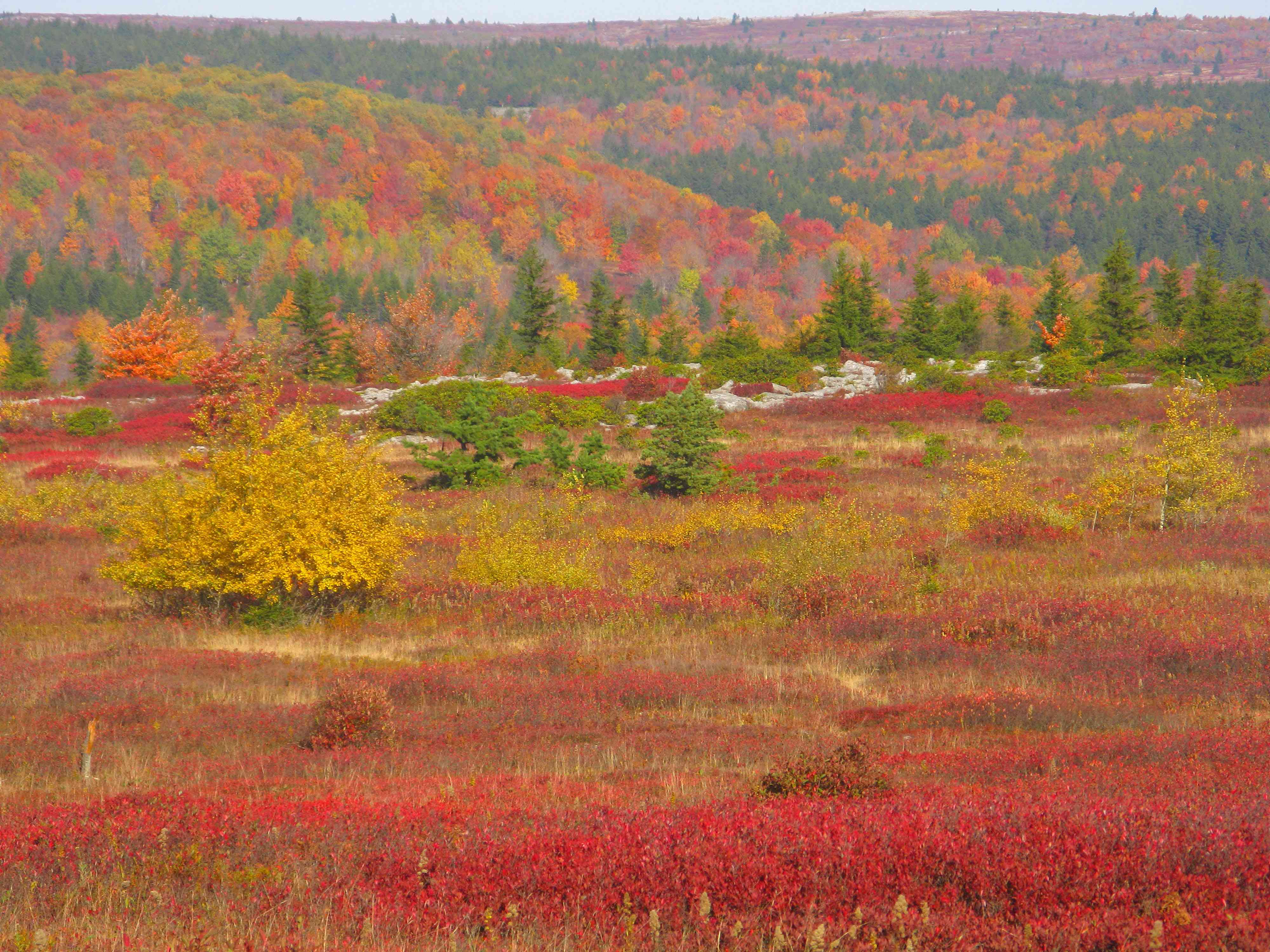 Fall colors in their full glory in West Virginia's Dolly Sods Wilderness National Forest