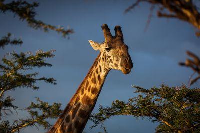Giraffe eating acacia leaves in Tanzania's Ngorongoro Conservation Area