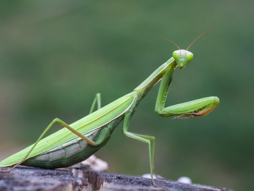 11 Wondrous Facts About Praying Mantises