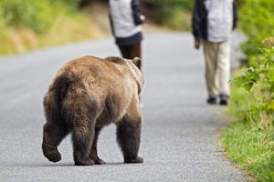 A brown bear behind two tourists in Alaska