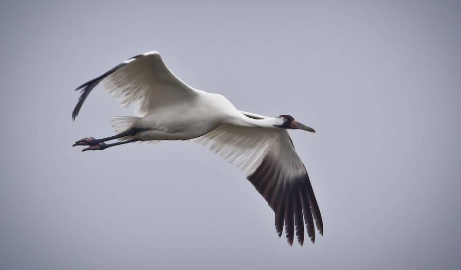 whooping crane flying