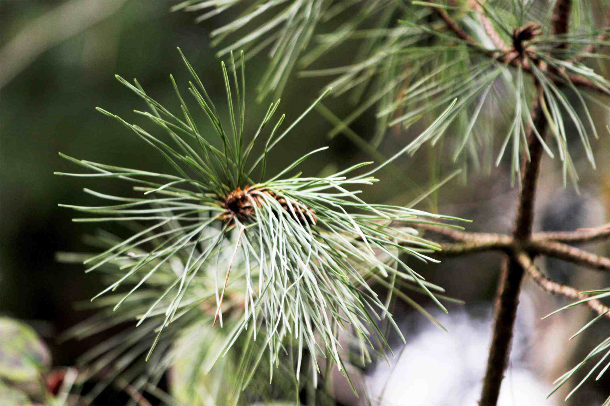 Pine tree needles close up