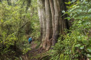 Old growth tree in rainforest on Meares Island near Tofino, British Columbia