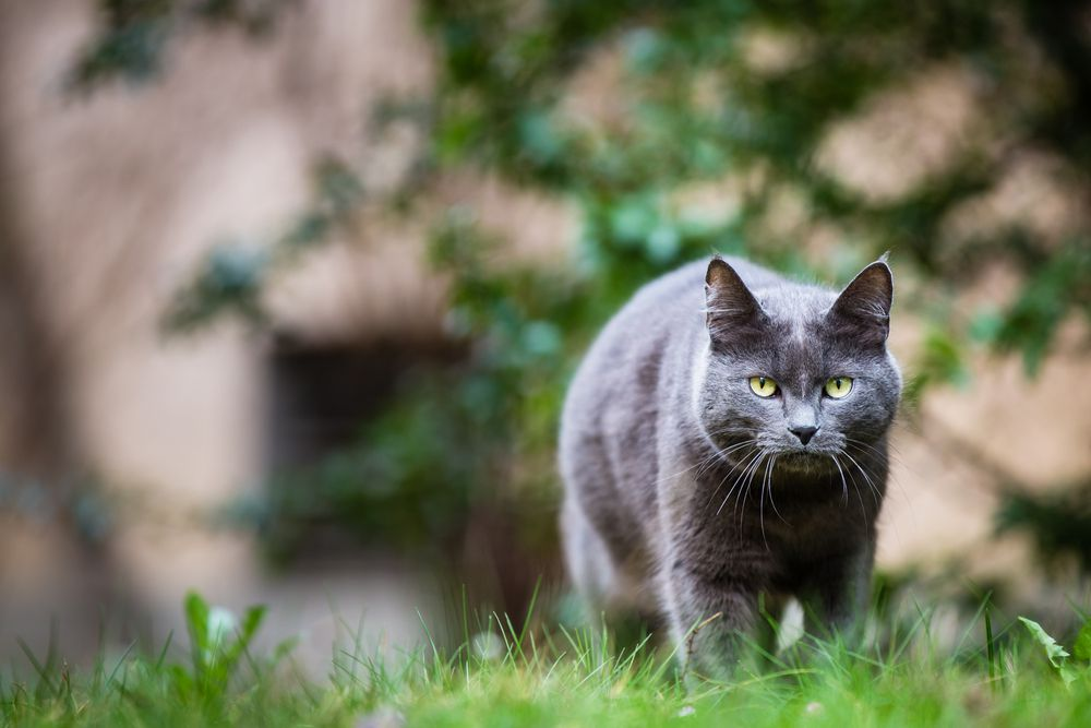 Grey cat outdoors on a green lawn