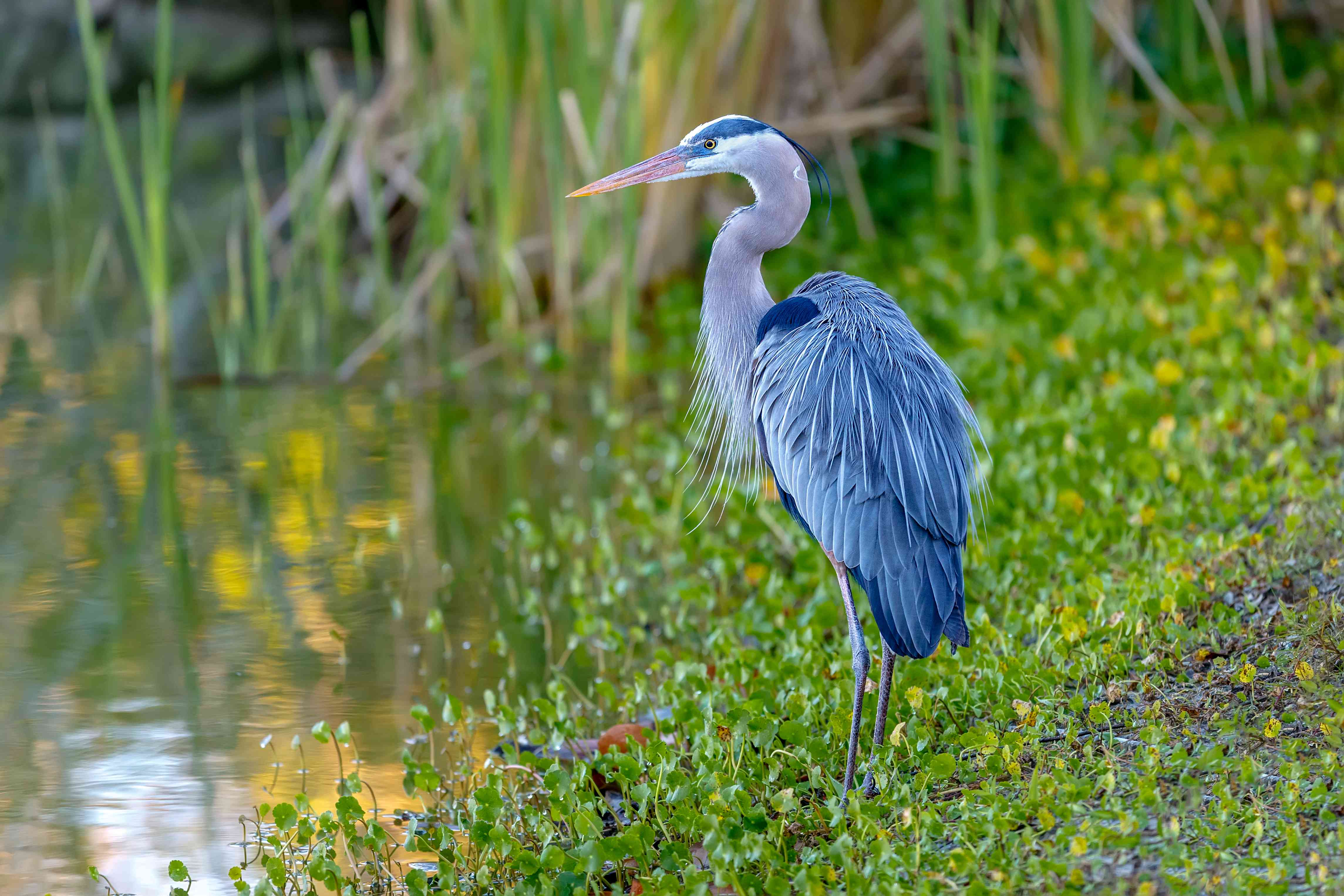 Blue Heron on the shore closeup