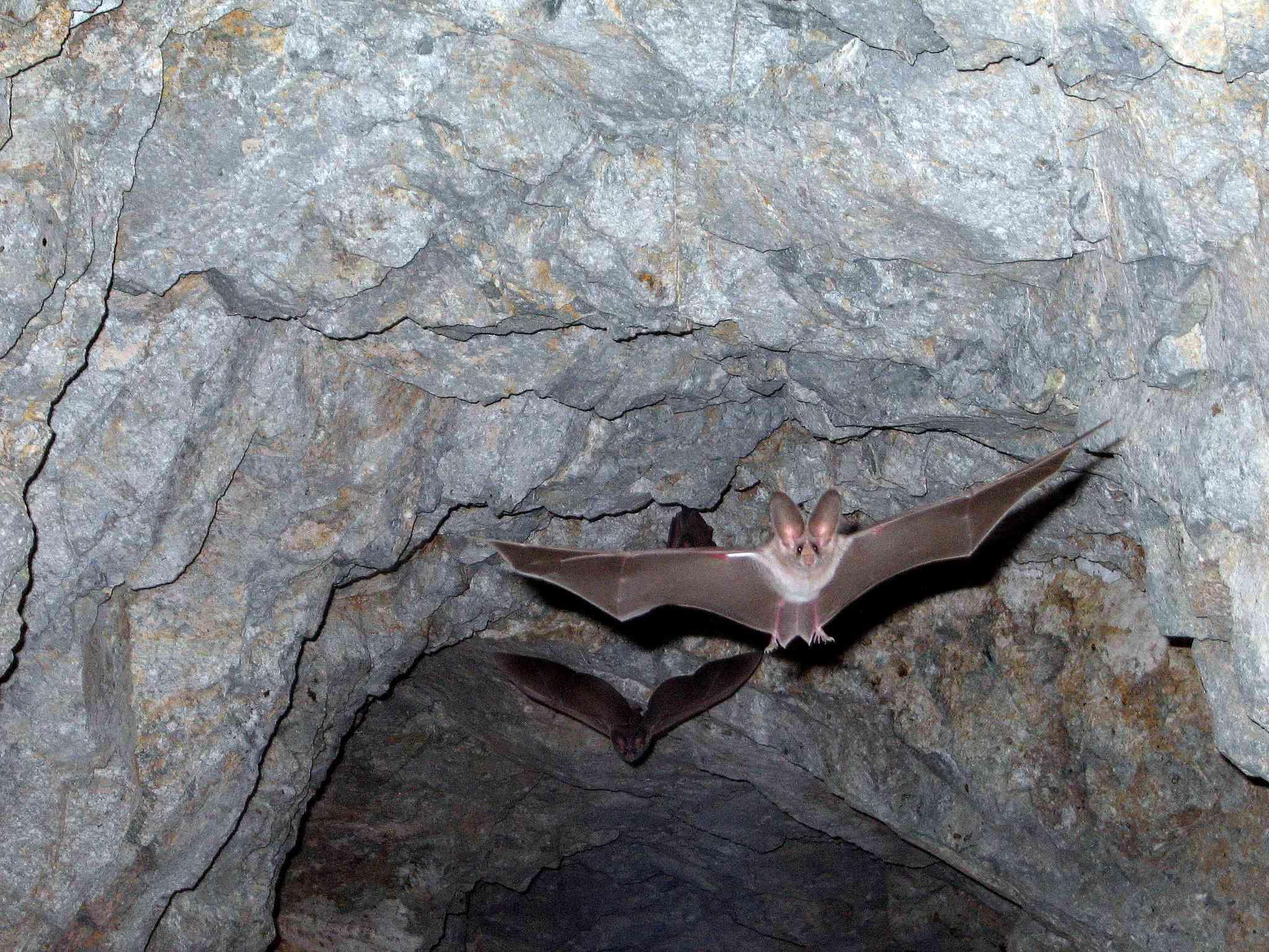 A leaf-nosed bat flies through a cave