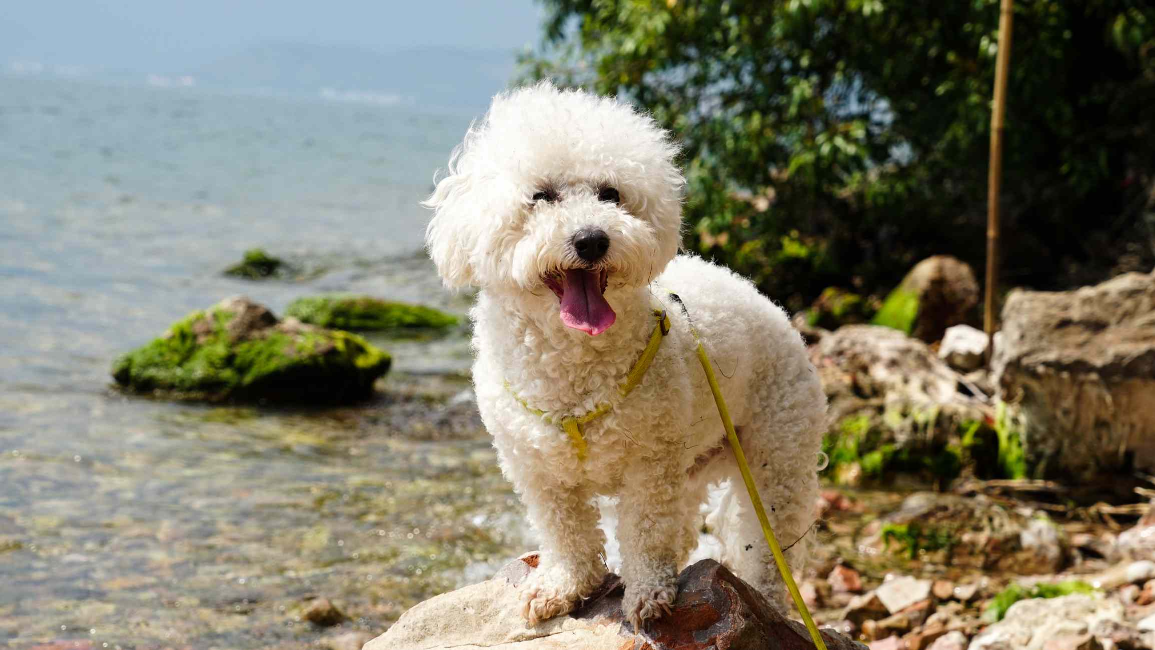 white bichon frise with its mouth open standing on a rock near a body of water