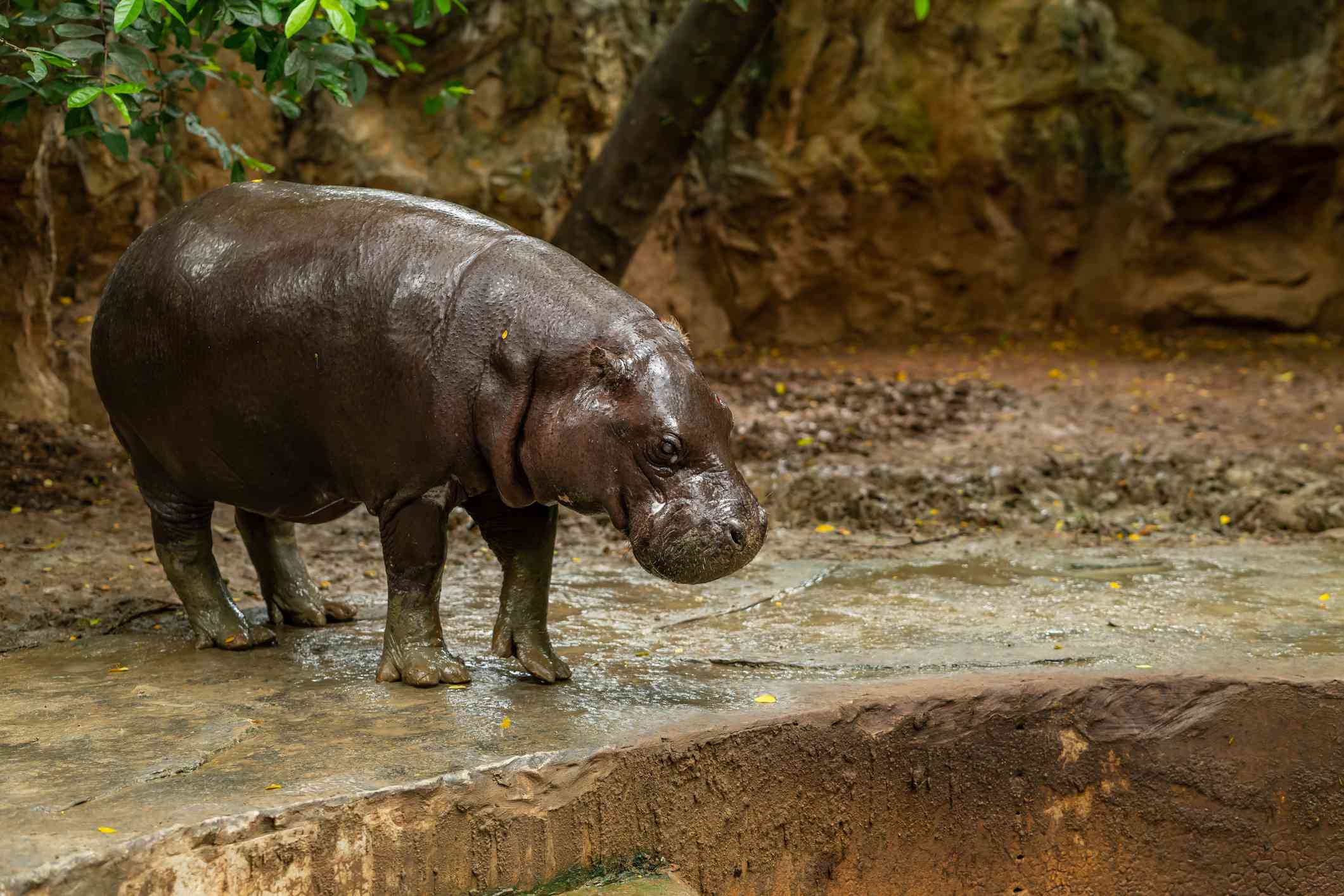 small pygmy hippo looking down from hilltop