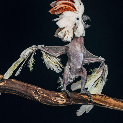 Exotic birds: Chicki