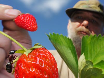 ant on strawberry while farmer holds another strawberry and examines it.