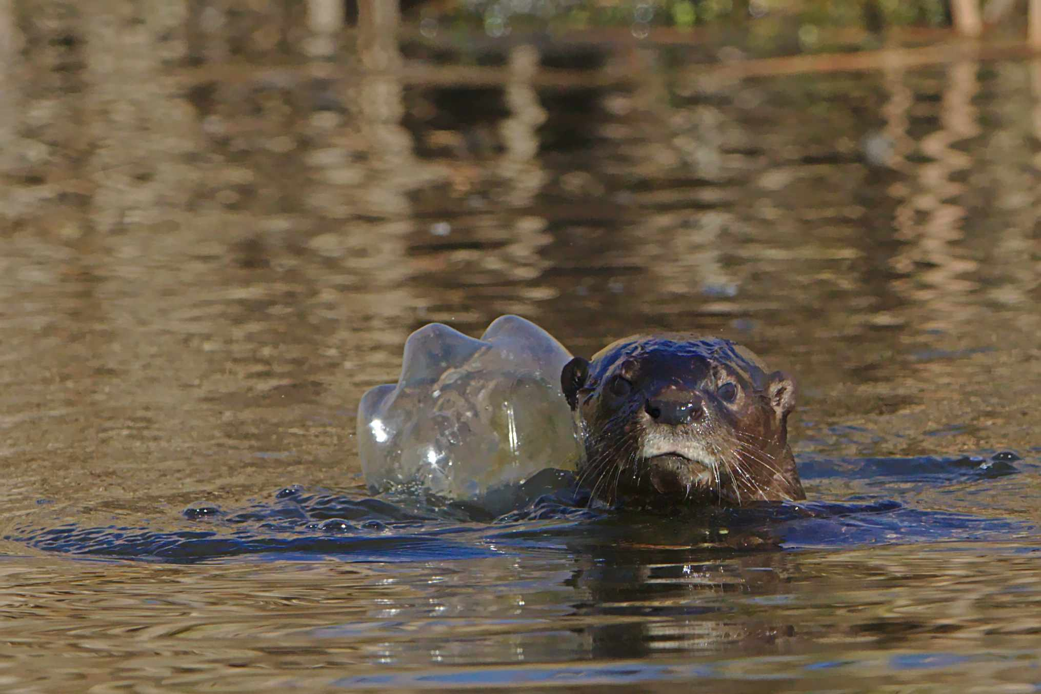 Otter head peeking out of the water, swimming with discarded plastic bottle