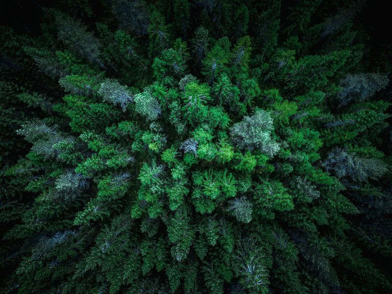 aerial view of spruce trees