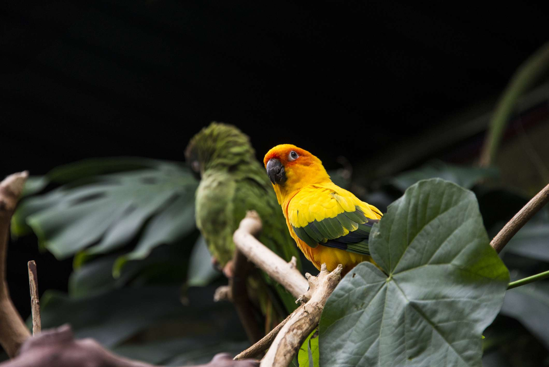 A bright yellow sun parakeet sitting on a branch with large green leaves.