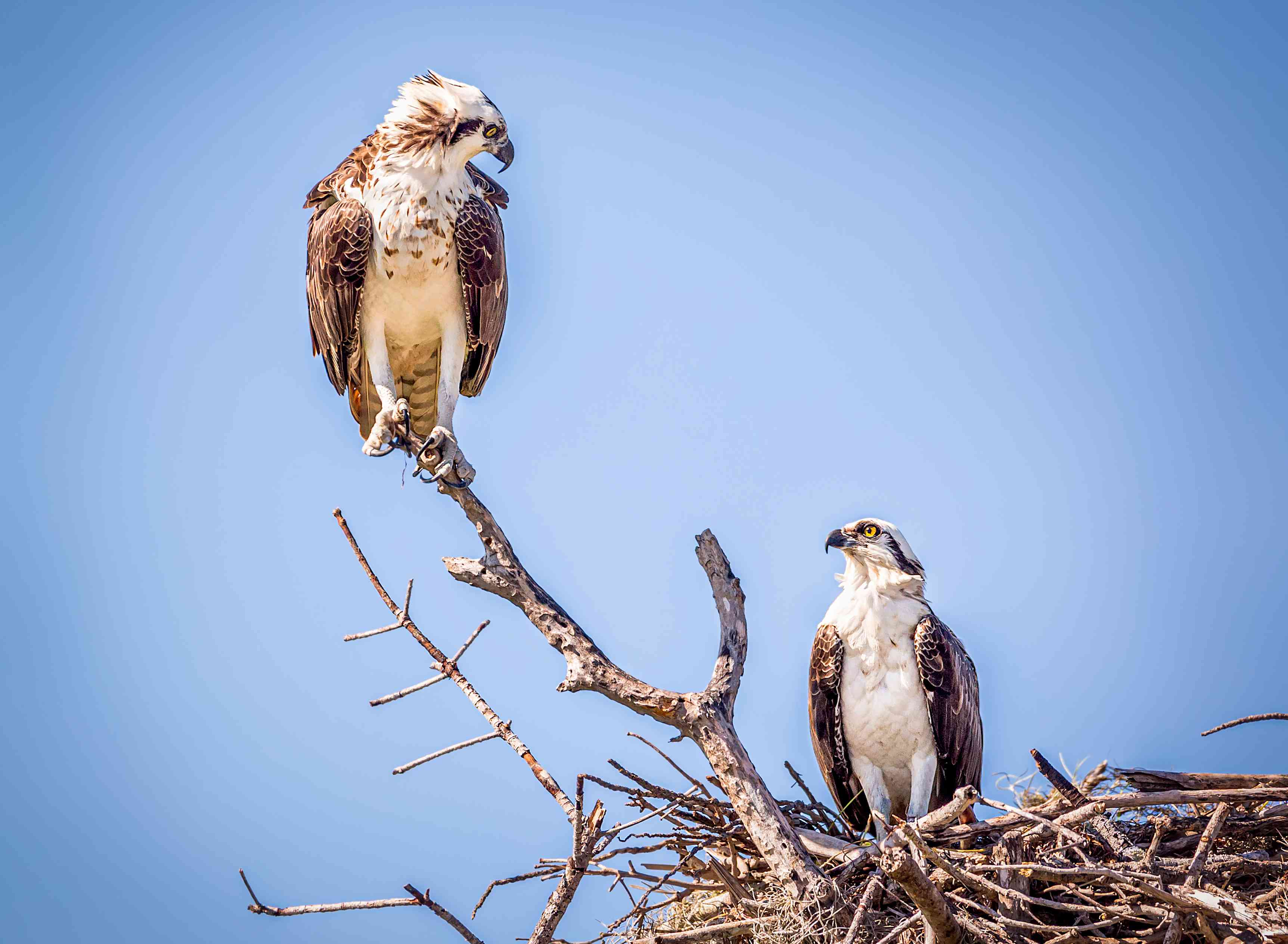 mated pair of ospreys at their nest