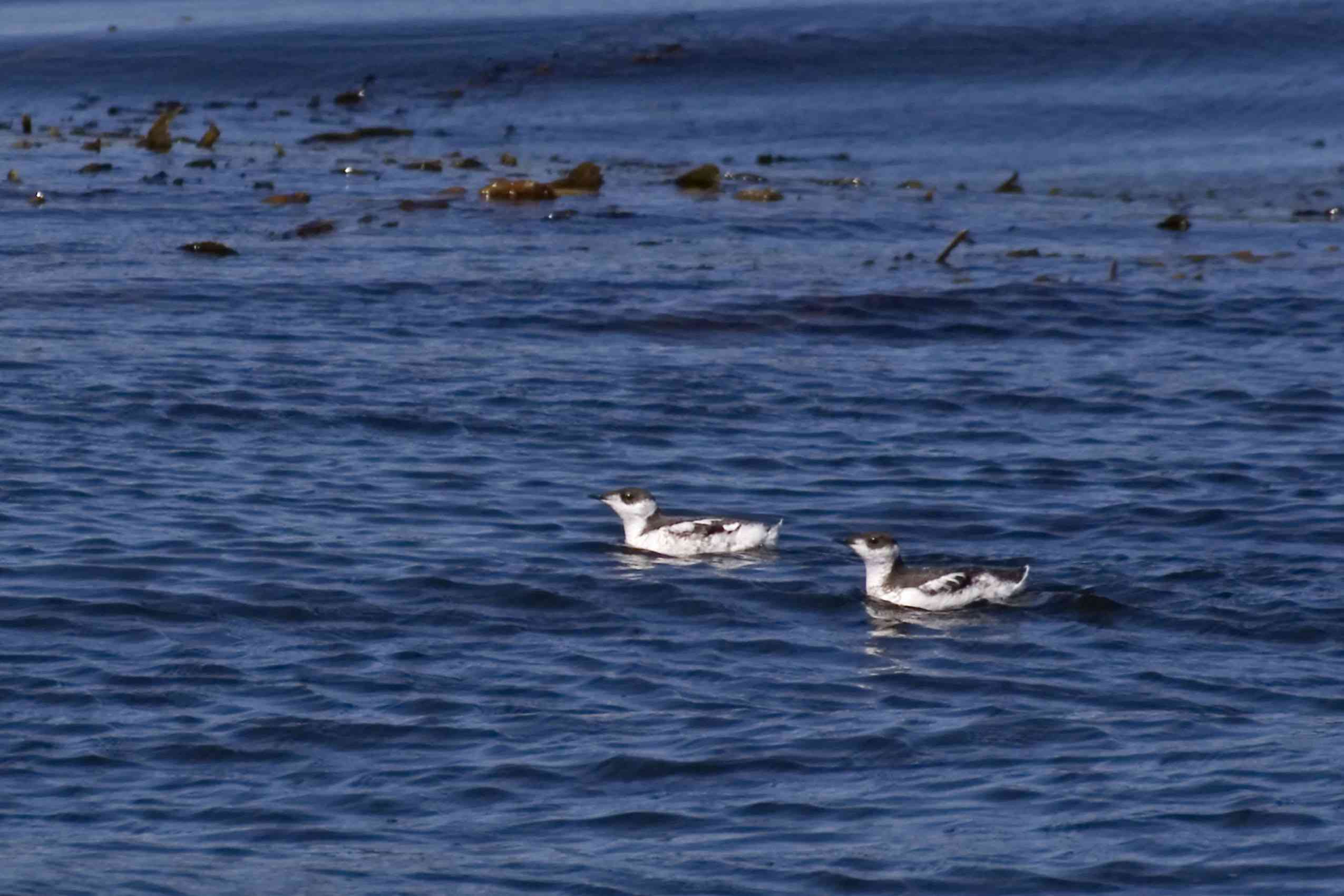 A pair of marbled murrelets floating in the Pacific near seaweed.