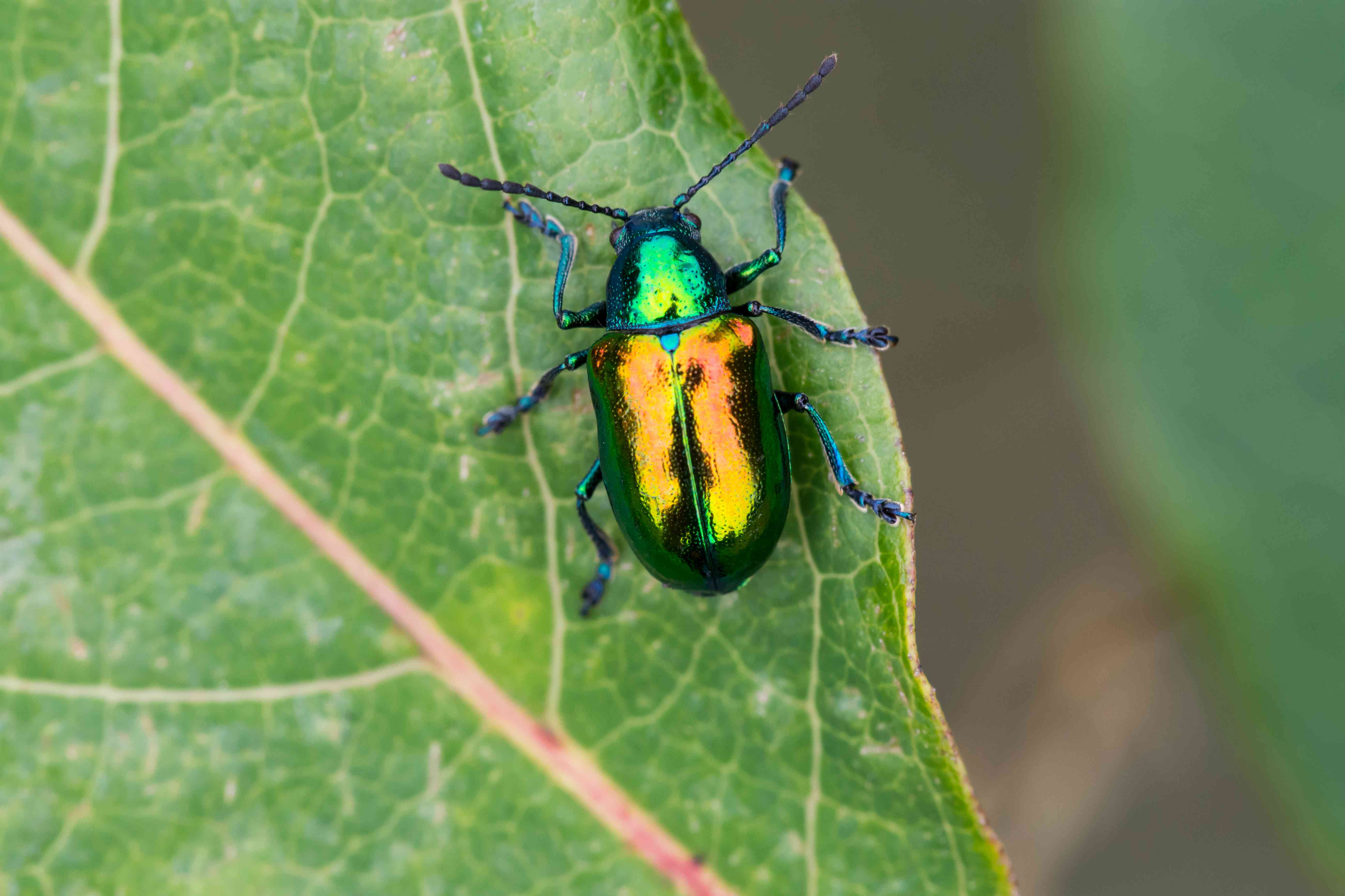Metallic dogbane beetle on a leaf