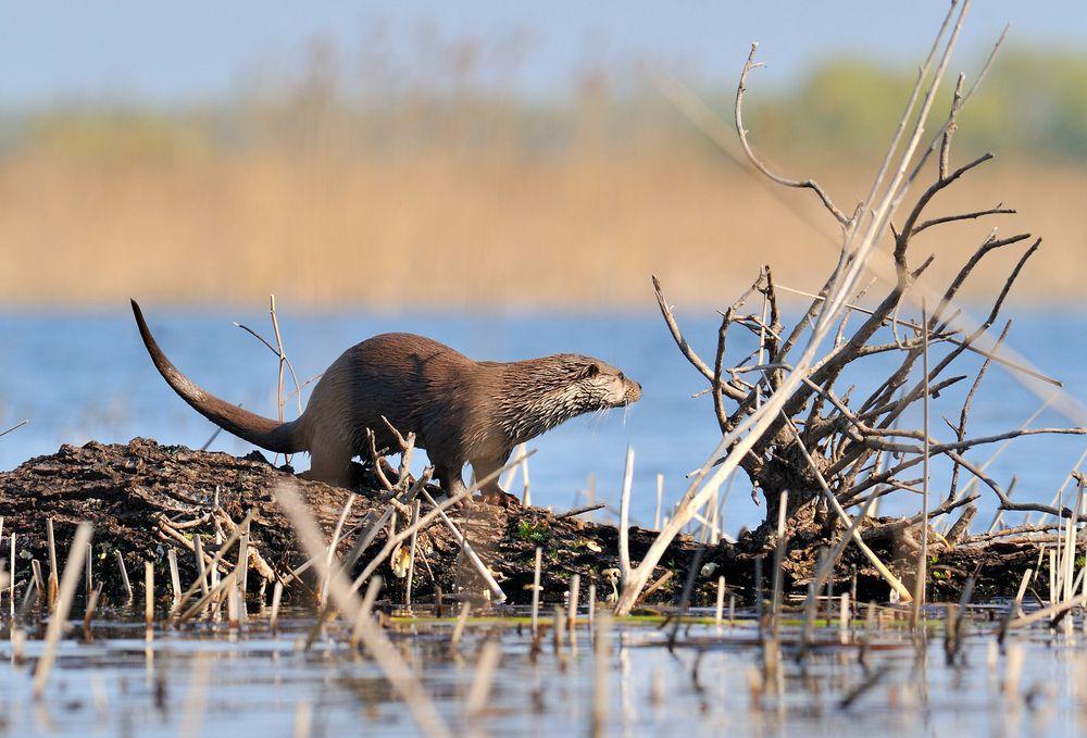 Otter standing on beaver lodge