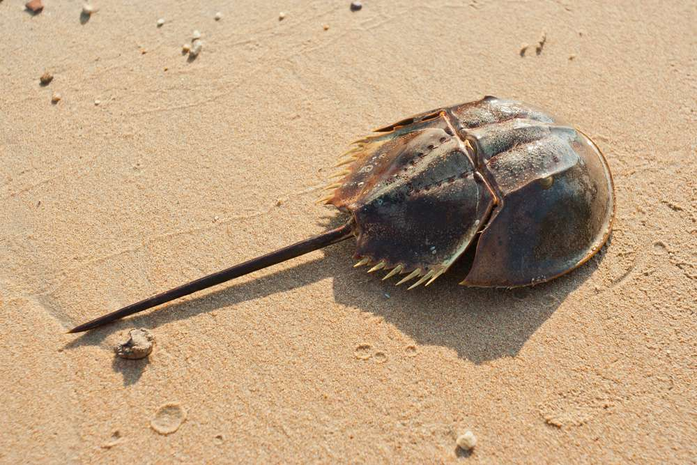 A horseshoe crab on a sandy beach