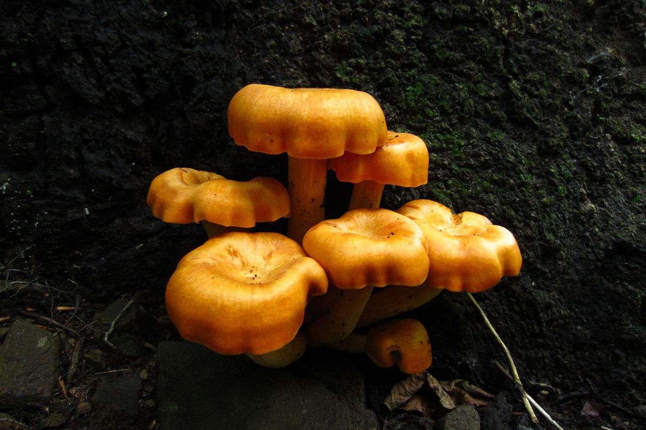 Bright golden mushroom cluster growing from tree