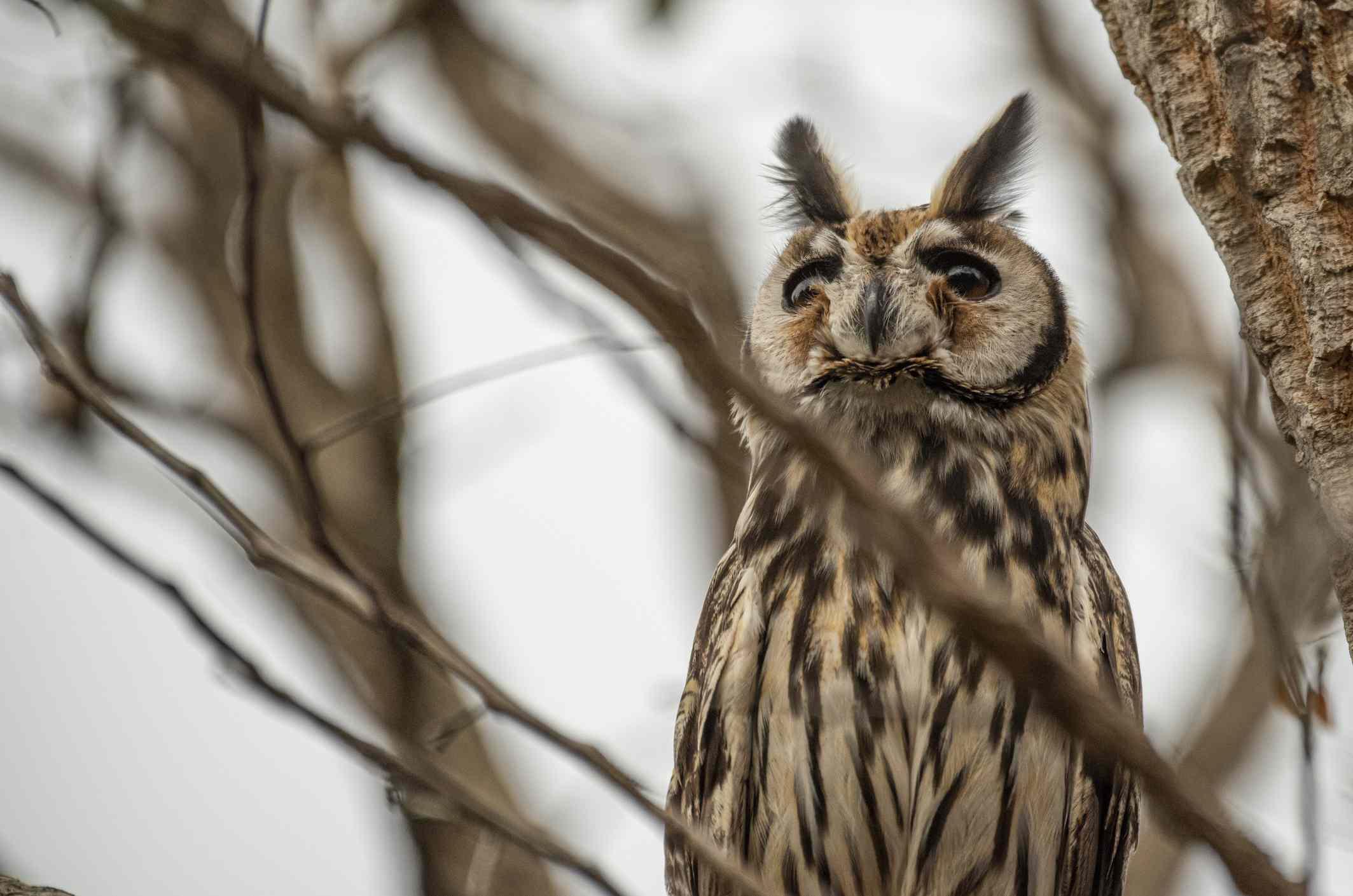 Striped owl in a tree
