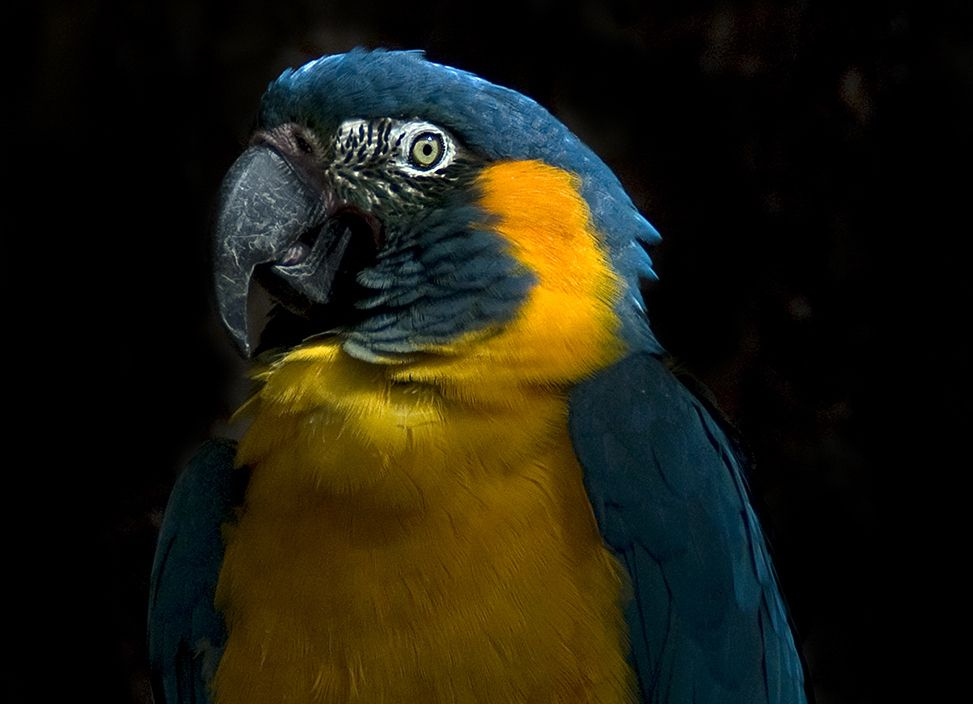blue-throated macaw portrait on black background