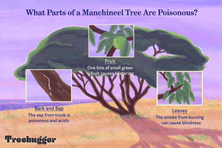 why the manchineel tree is so poisonous