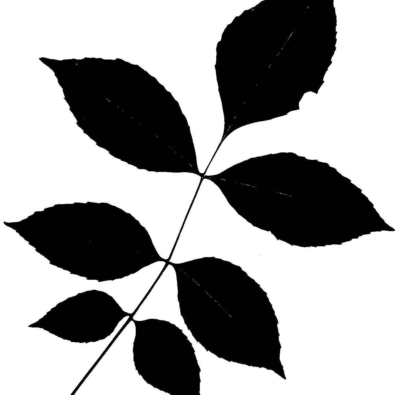 Silhouettes Green Ash Leaf