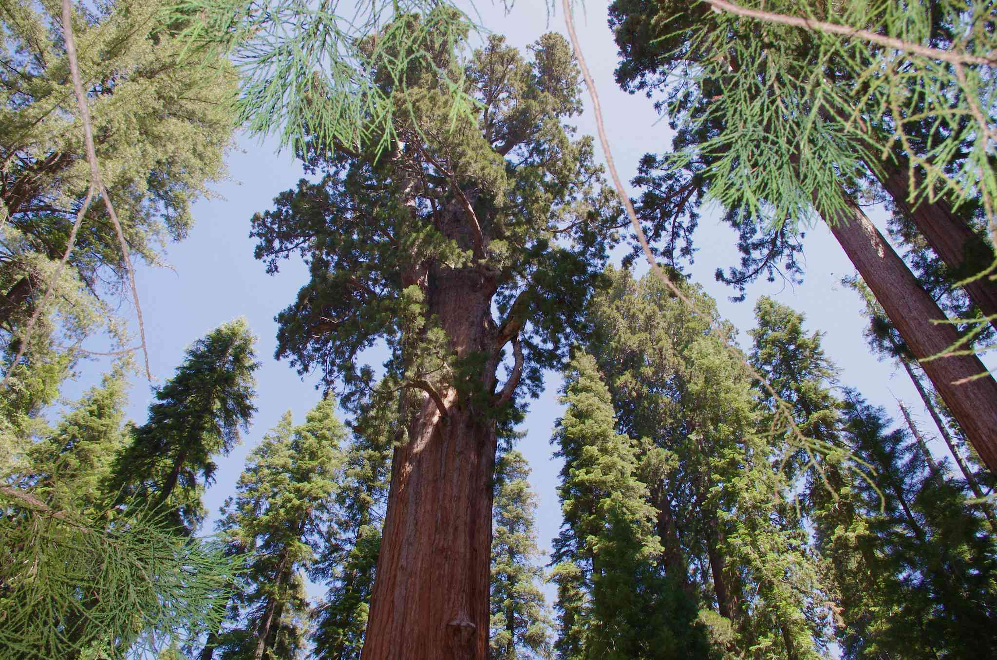 Looking up at the General Sherman tree among other trees