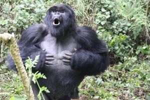 silverback gorilla beating chest