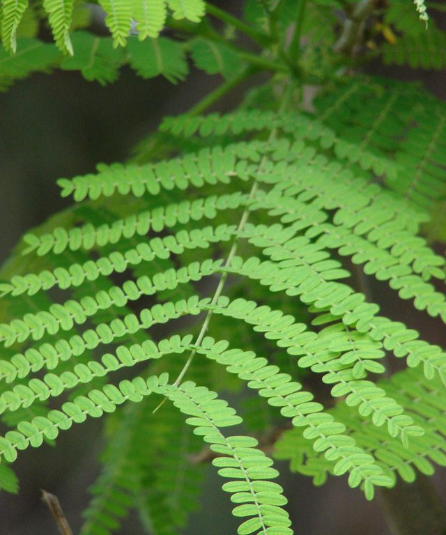Bipinnately compound leaves
