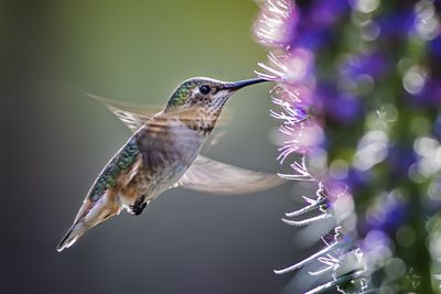 Anna's Hummingbird Over Pride of Madeira Flowers