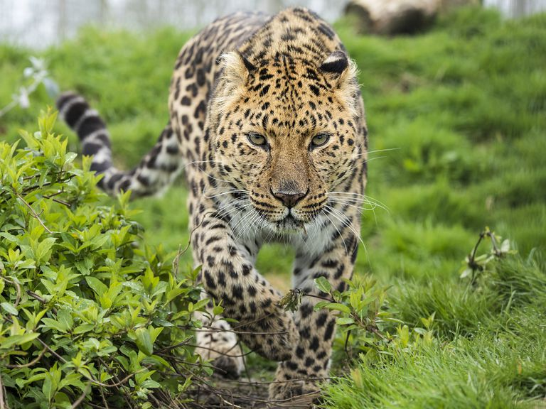An adult Amur leopard on the prowl
