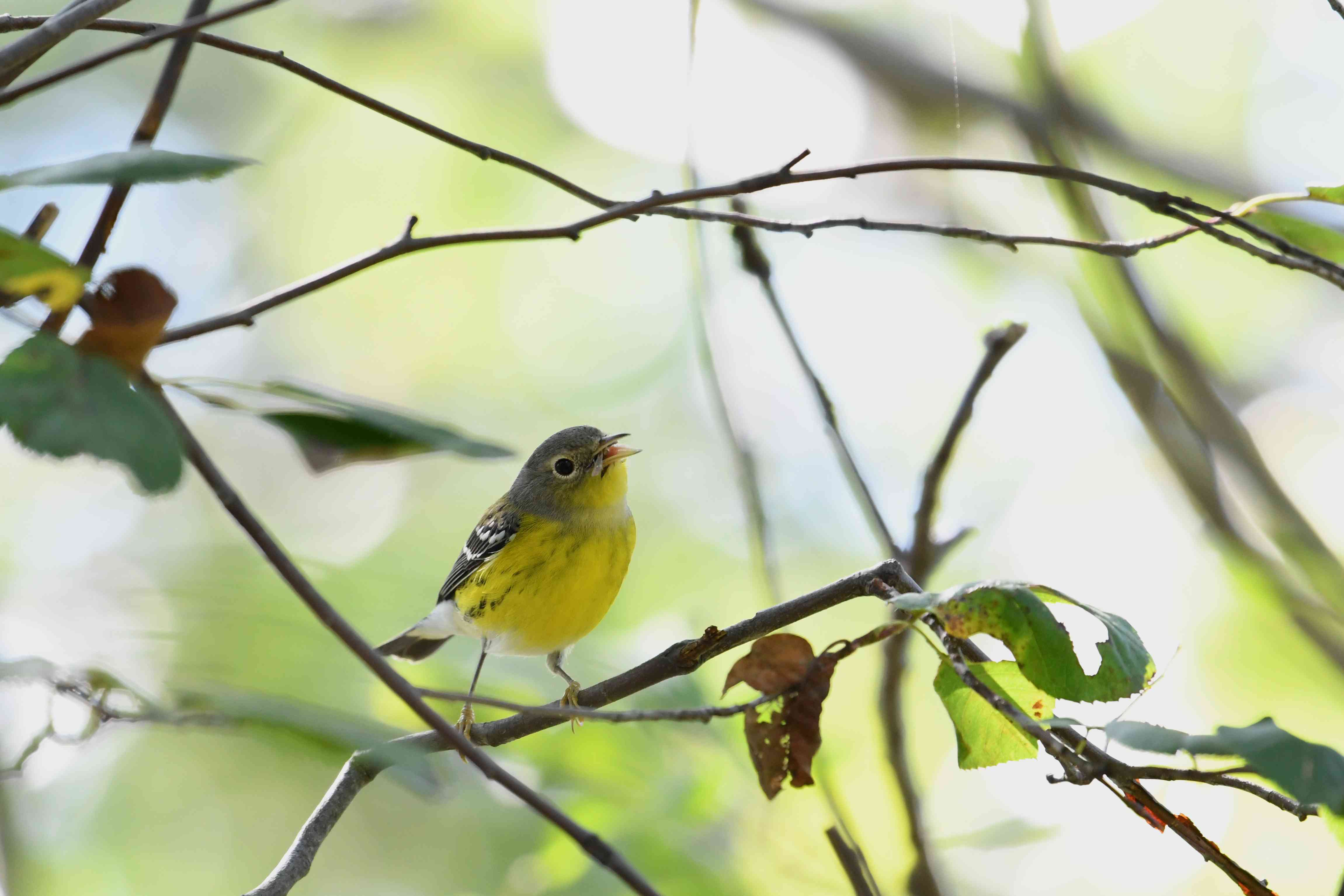 Low-angle view of Magnolia Warbler singing in a tree