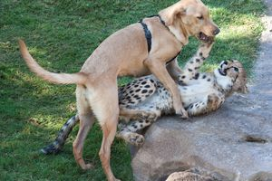 A dog plays with a cheetah in the park.