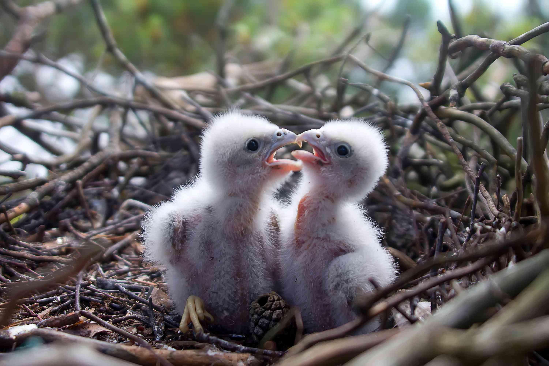2 falcon chicks in a nest