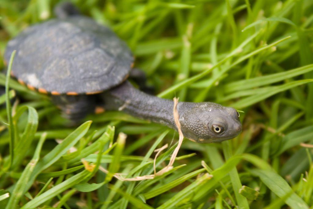 snakenecked turtle
