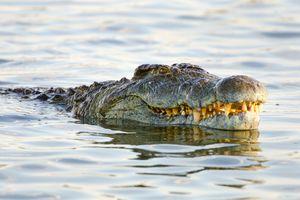 a Nile crocodile in Kruger National Park. South Africa