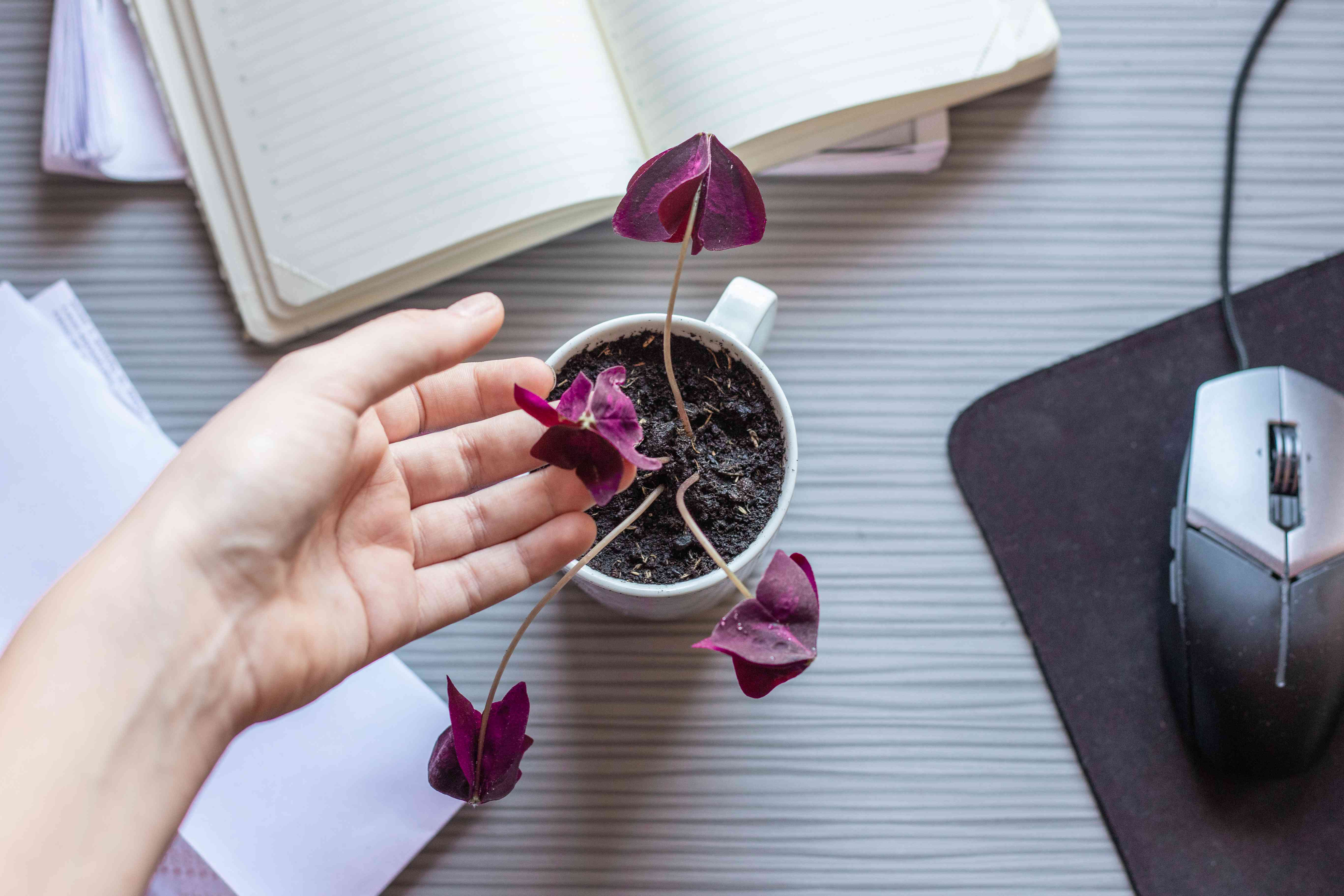 overhead shot of hand gently touching purple oxalis plant in coffee cup